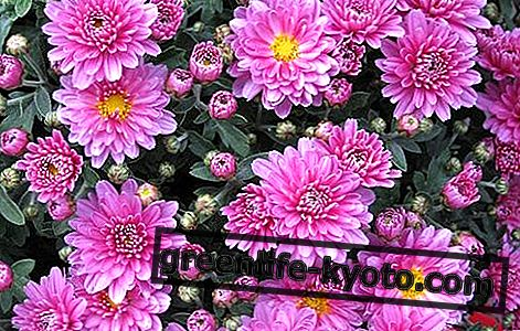Chrysanthemum: properties, use, contraindications