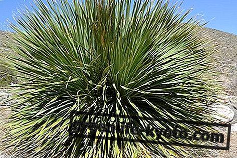 Yucca: vlastnosti, použití a kontraindikace