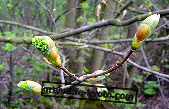Gemmoderivati, regenerovat díky nejzranitelnějším částem rostlin