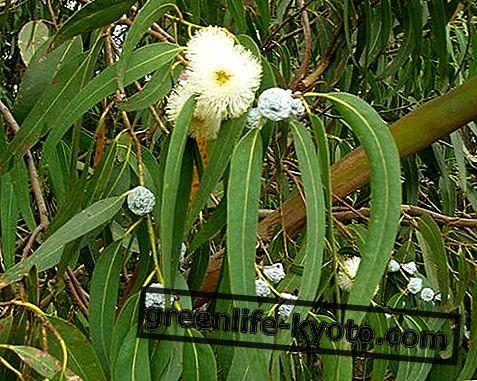 Eucalyptus: propriétés, utilisation, contre-indications