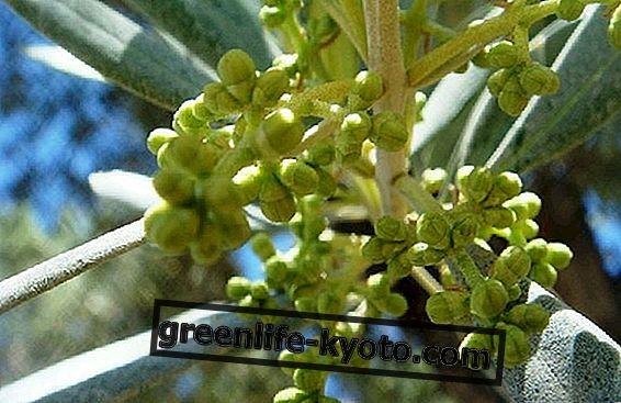 gemmoderivato : 올리브 나무와 얼굴을 마주 보며