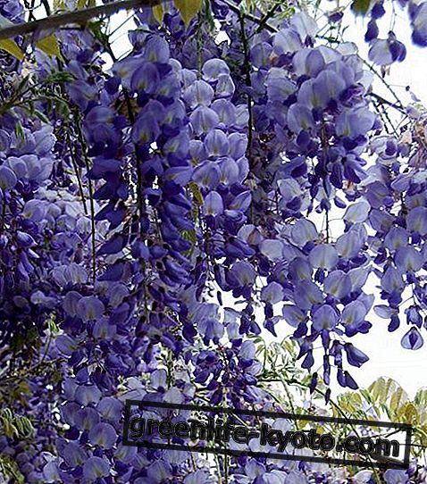 Вистериа, аустралијски цветни лек