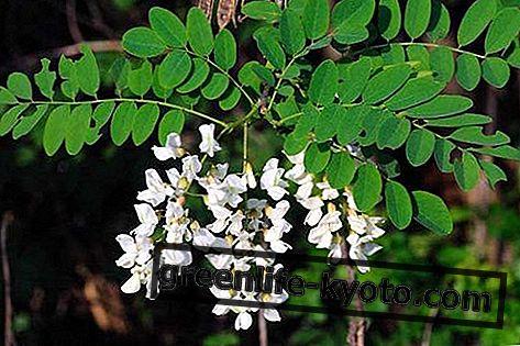 Acacia: propiedades, uso, contraindicaciones.