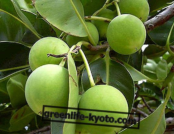 Tamanù-Öl, natürliche Heilung und mehr