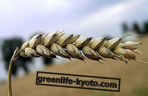 Уље пшеничних клица: витамин Е, у свом природном стању