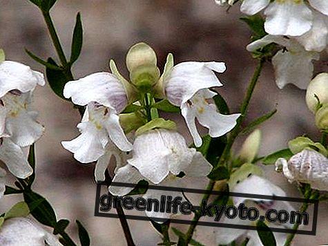 Arbusto de menta, remedio floral australiano