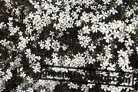 Bryllup Bush, australsk blomstret
