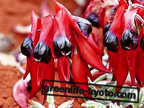 Стурт Десерт Пеа, аустралијски лијек за цвијеће