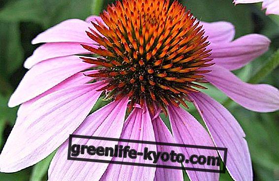 Echinacea ke zvýšení imunitní ochrany proti zimním chorobám