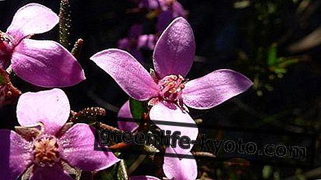 Boronia, Australische bloemenremedie