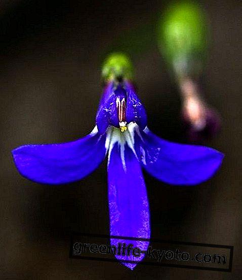Núdzové, austrálskej prvej pomoci pre kvety