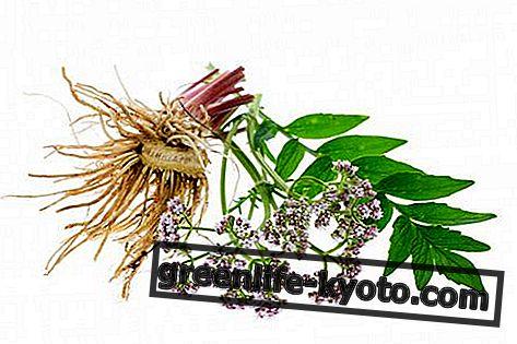 Valeriana matka tinktura: příprava, vlastnosti a použití