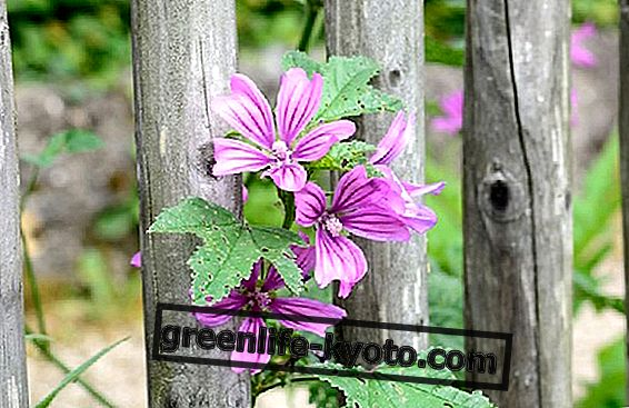 Mallow flowers, benefits and use