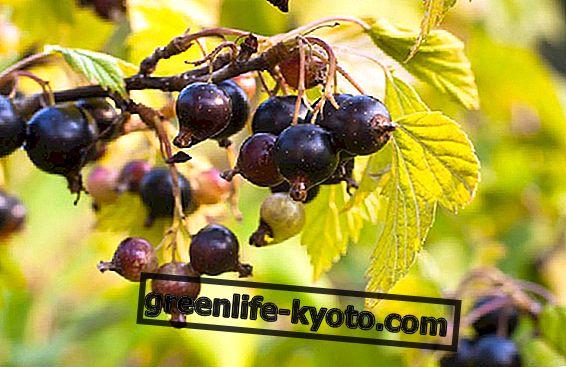 Ribes Nigrum dan ubat-ubatan lain terhadap alergi