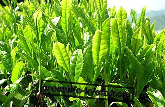 Zeleni čaj in prehrana