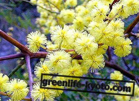 サンシャインワトル、オーストラリアの花の救済