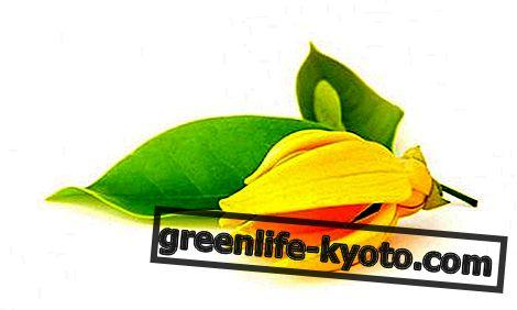 Ylang Ylang éterický olej: vlastnosti, použití a kontraindikace