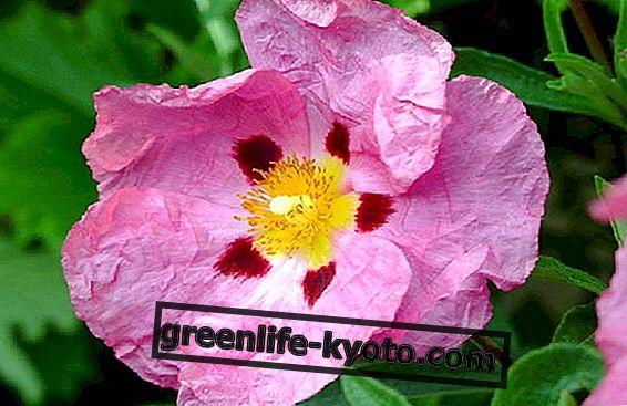 Remedios florales de emergencia