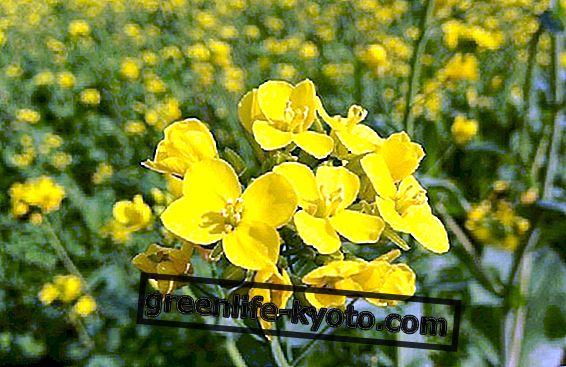 We behandelen depressie met de florale essentie Mosterd