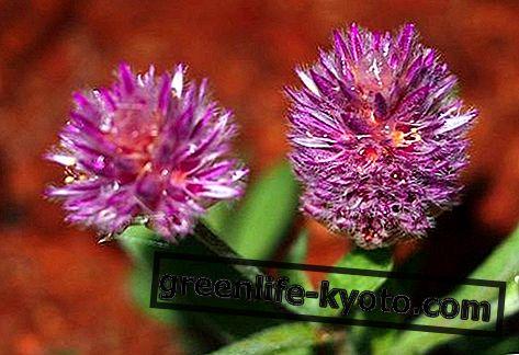 Rosa Mulla Mulla, remedio floral australiano.