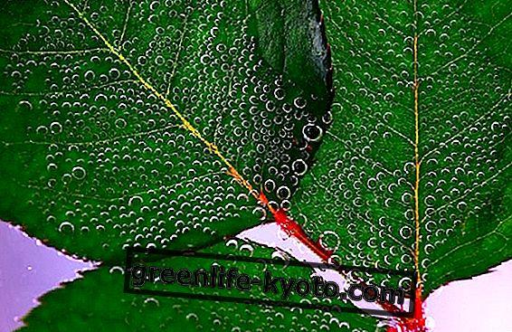 टूटी केशिकाओं के साथ त्वचा के लिए आवश्यक तेलों का मिश्रण