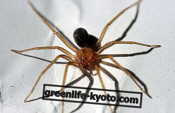 Houslový pavouk, jak to rozpoznat