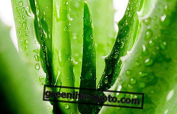 Aloe vera: 5 korzyści, których nie oczekujesz