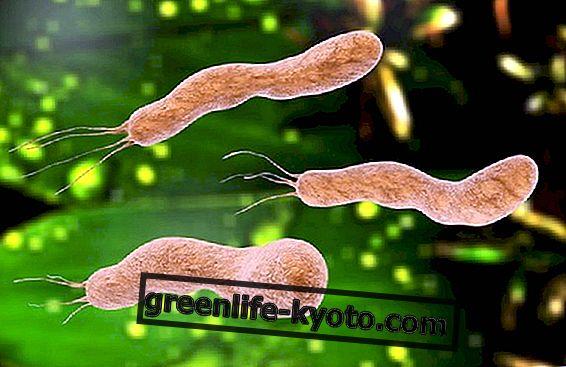 헬리코박터 파일로리 (Helicobacter pylori) : 그것이 무엇인지, 어떻게 발생하는지, 치료법