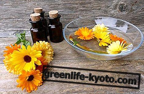 Calendula, semua tentang obat alami