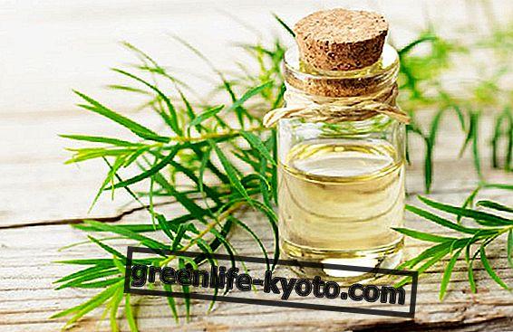 Tējas koka eļļa, dabiska antibiotika