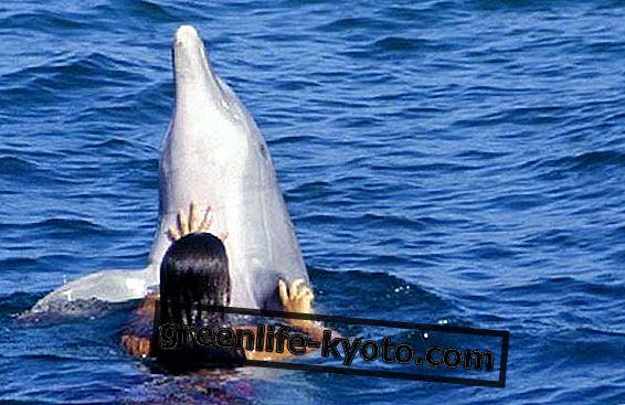 Delfinoterapi: simning med delfiner.  Och bli bra