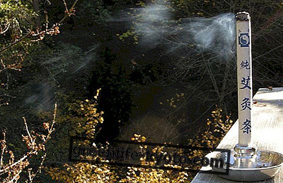 Moxibustion: moxa és artemisia