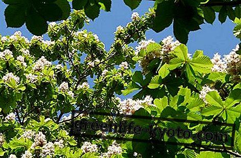 Aesculus Hippocastanum, allemaal op de homeopathische remedie