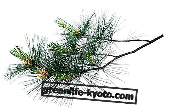 Pinus Swiss, khasiat dan manfaatnya