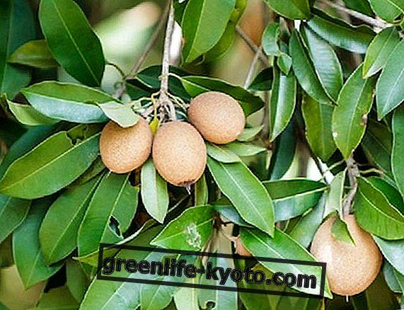 Manilkara zapota, la planta con mil usos.