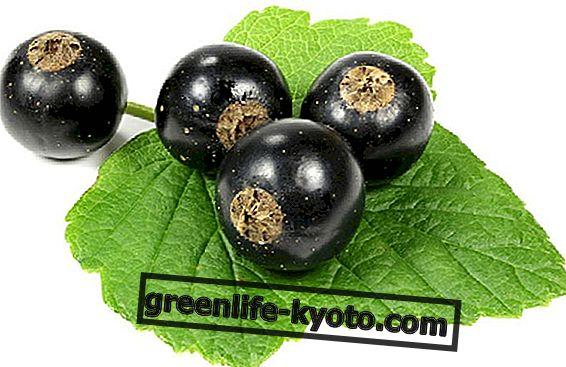 Grosella negra el antioxidante natural.