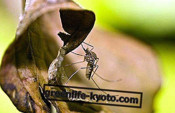 자연 요법으로 덜 자극적 인 모기
