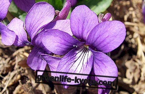 Chromoterapija: violetinė spalva