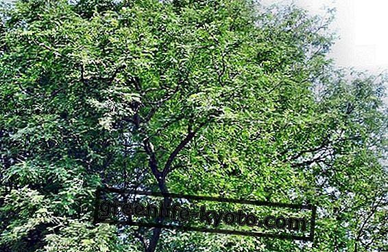 タマリンド植物:それを育てる方法