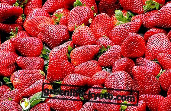 Cultivar fresas en el balcón.