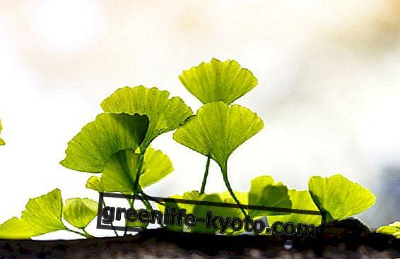 Ginkgo biloba: cómo cultivar la planta.