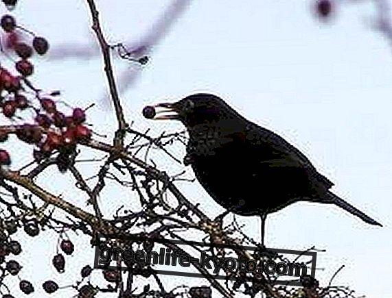 Jardineros de aves o pájaros de la glorieta.