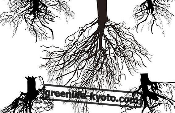 Mycorrhizae : 그들이 무엇이며 어떻게 사용 되는가