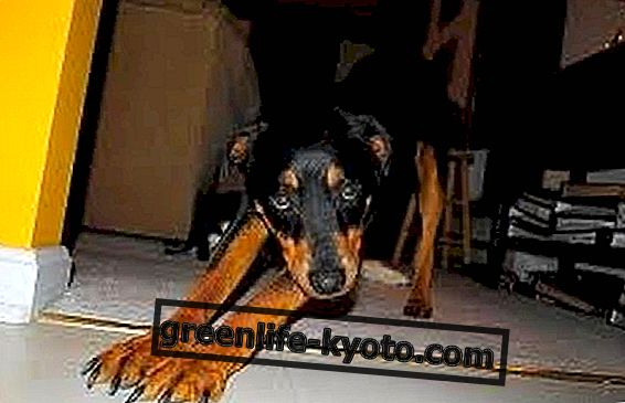 Amikor a kutyák jóga, a Doga