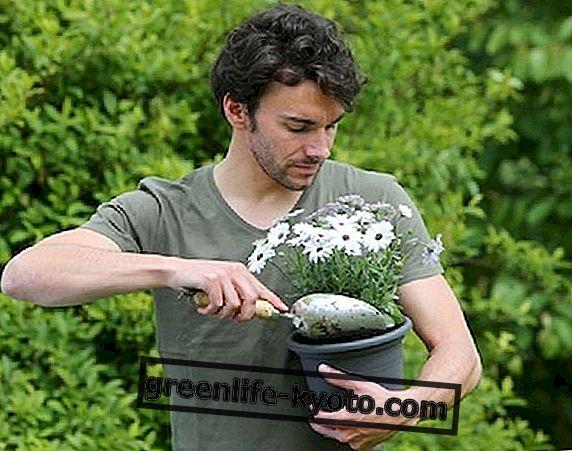 El fertilizante casero.
