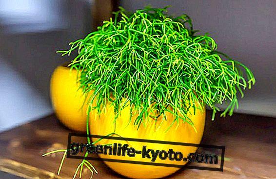 Rhipsalis, dekoratiivne taim, mis on stressi vaenlane