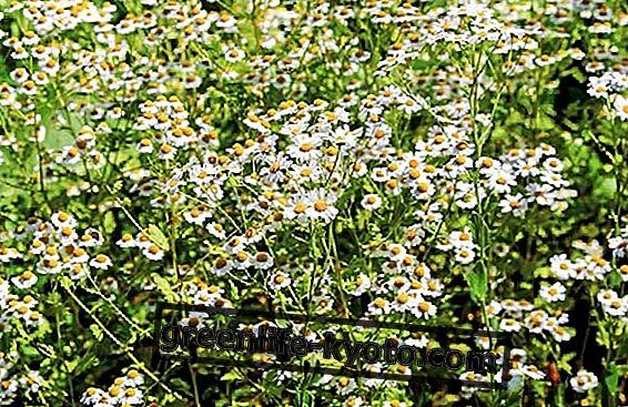 Χαμομήλι, η καλλιέργεια του φυτού