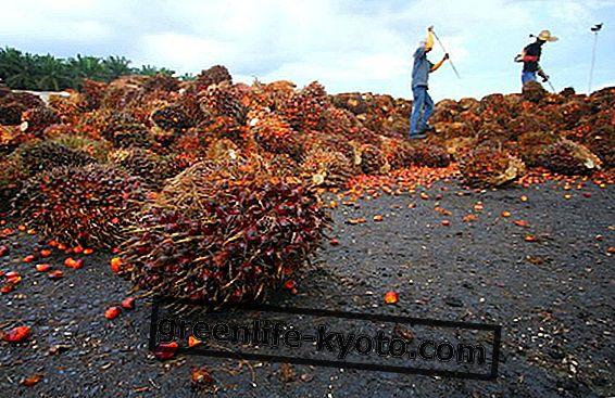 Olej palmowy: a jeśli był trwały?