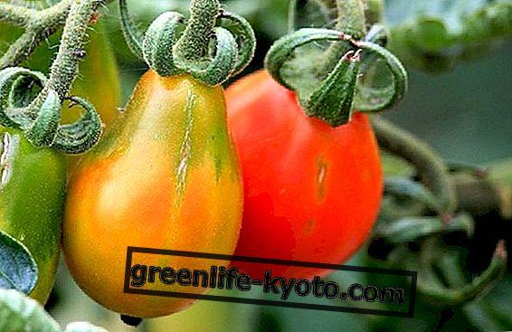 Kuidas kasvatada tomatid rõdul