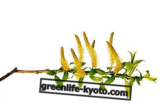 Ácido salicílico en las plantas.